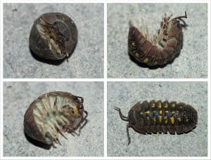 What do you call this bug? Rollie Pollie? Doodle Bug? Pill Bug?