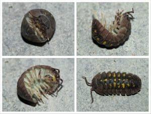 pill-bug-rollie-pollie-doodle-bug-300x228