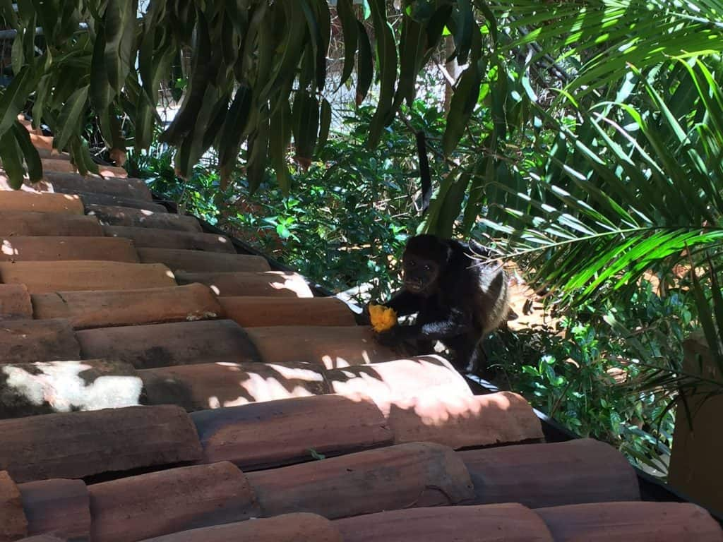 Jardin del Eden Boutique Hotel Review howler monkey with mango